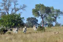Wild Dogs being chased by Zebra. Wild dogs going on a hunt in the early morning sunlight. Spot a lone Zebra royalty free stock photos