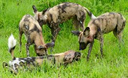 Wild dogs Royalty Free Stock Photos