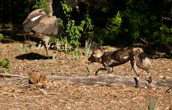 Wild Dogs chasing White-backed Vulture Royalty Free Stock Photos