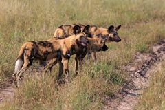 Wild Dogs Royalty Free Stock Photo