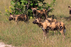 Wild Dogs Royalty Free Stock Images