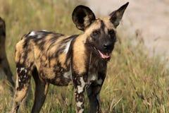 Wild Dogs Stock Photos