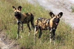 Wild Dogs Stock Image