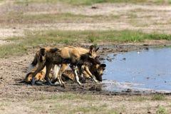 Wild Dogs Royalty Free Stock Photos