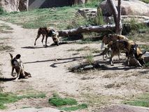 Wild Dogs. At Denver Zoo stock image