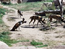 Wild Dogs. At Denver Zoo royalty free stock images