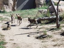 Wild Dogs. At Denver Zoo royalty free stock image