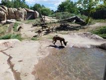Wild Dogs. At Denver Zoo royalty free stock photos