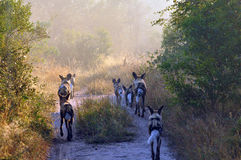 Wild Dogs. In the early morning Light starting a hunt Royalty Free Stock Photography