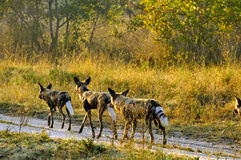 Wild Dogs. In the early morning Light starting a hunt Stock Photos