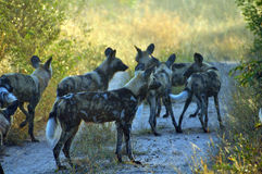 Wild Dogs stock photography