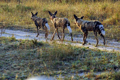 Wild Dogs. In the early morning Light starting a hunt Royalty Free Stock Images