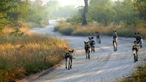 Wild Dogs. In the early morning Light starting a hunt Stock Image
