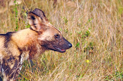 Wild Dogs. In the early morning Light starting a hunt Stock Photography
