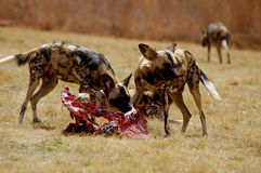 Wild Dogs Feeding royalty free stock photo