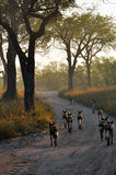 Wild Dogs. Going on a hunt in the early morning sunlight stock photos