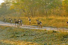 Wild Dogs. Going on a hunt in the early morning sunlight royalty free stock image