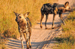 Wild Dogs. Going on a hunt in the early morning sunlight. Spot a lone Zebra Stock Photo