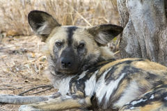 Wild Dogs in Greater Kruger National Park, South Africa Royalty Free Stock Photos