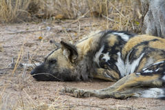 Wild Dogs in Greater Kruger National Park, South Africa Royalty Free Stock Photography