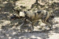 Wild dogs at Hoedspruit Endangered Species Centre Stock Image