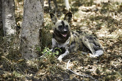 Wild dogs at Hoedspruit Endangered Species Centre Stock Images