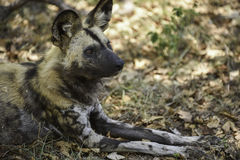 Wild dogs at Hoedspruit Endangered Species Centre Royalty Free Stock Photo