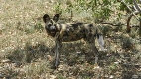 Wild dogs at Hoedspruit Endangered Species Centre Stock Photos