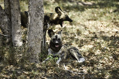 Wild dogs at Hoedspruit Endangered Species Centre Stock Image