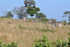 Wild Dogs hunting Zebra. Wild dogs going on a hunt in the early morning sunlight. Spot a lone Zebra stock photography