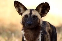 Wild Dogs In Soouth Africa Stock Photography