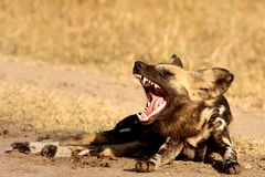 Wild Dogs In South Africa Royalty Free Stock Photography