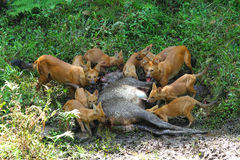 Wild dogs with kill of sambar deer Stock Photo