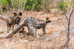 Wild Dogs in Kruger National Park in South Africa Royalty Free Stock Image