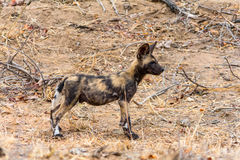 Wild Dogs in Kruger National Park in South Africa Stock Images