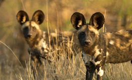 Wild dogs. In the late afternoon Royalty Free Stock Photography