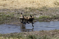 African Wild Dogs Hunting Leaping. African wild dogs can run long distances at speeds of up to about 35 miles per hour Royalty Free Stock Photo