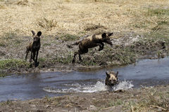 African Wild Dogs Leaping & Hunting. Wild dogs play an important role in eliminating sick & weak animals as a top predator Stock Image
