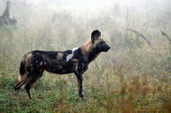 Wild Dogs (Lycaon Pictus). Lycaon pictus is a canid found only in Africa, especially in savannas and lightly wooded areas. It is variously called the African Royalty Free Stock Image