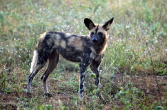Wild Dogs (Lycaon Pictus). Lycaon pictus is a canid found only in Africa, especially in savannas and lightly wooded areas. It is variously called the African Stock Photos