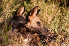 Wild dogs lying in the on grass in sun Royalty Free Stock Photography