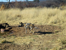 Wild Dogs in Namibia. Wild Dogs hanging out in a field in Namibia Stock Photography