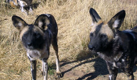 Wild Dogs in Namibia. Wild Dogs hanging out in a field in Namibia Stock Photos