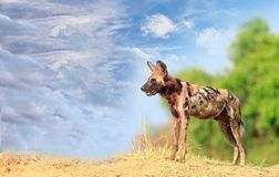 African Wild Dog standing on a riverbank with a bush and blue sky background in South Luangwa National Park. Wild Dogs - Painted Dogs surveying the area in South Royalty Free Stock Images