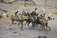 Wild Dogs play-fighting Stock Images