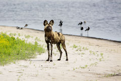 Wild Dogs Relaxing in a Shallow Pond Royalty Free Stock Photos