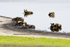 Wild Dogs Relaxing in a Shallow Pond Royalty Free Stock Photography