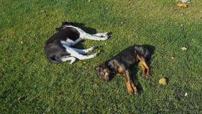 Wild dogs sleep on grass in autumn park. stock video