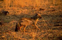Wild dogs are some of the most brutal killers in the Kalahari-de. Botswana: Wild dogs are some of the most brutal killers in the Kalahari-desert royalty free stock photos