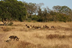 Wild dogs in Soouth Africa. Wid dogs (painted) in Sabi Sand, South Africa Royalty Free Stock Images